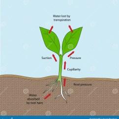 Flower Transpiration Diagram Two Way Anova Pdf Stock Vector Illustration Of