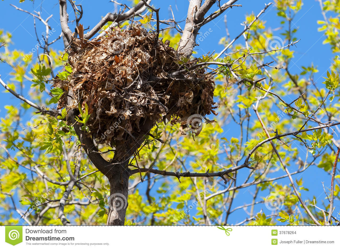 Tree Squirrel Nest High Up In A Tree Stock Photo  Image 37678264