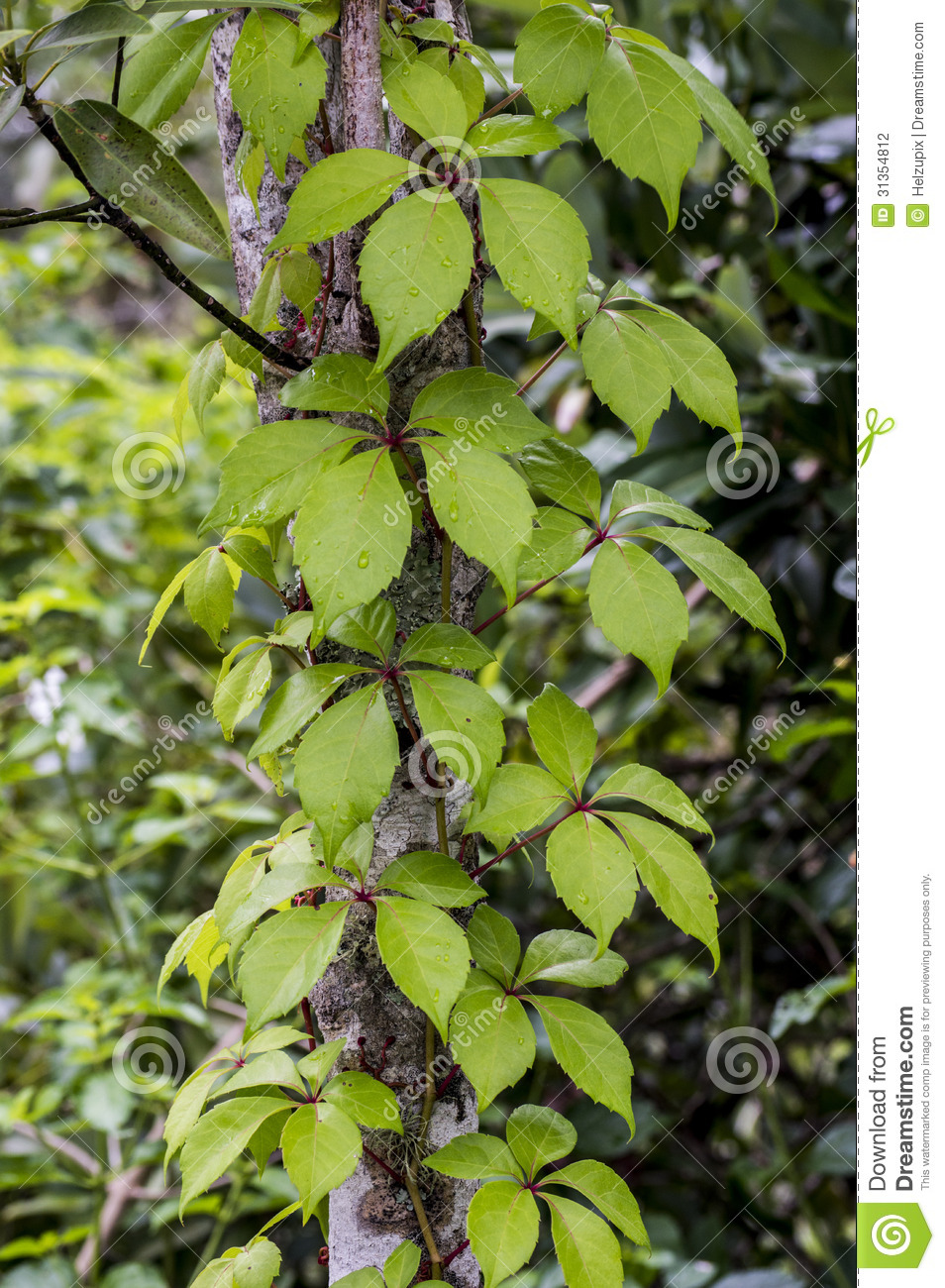 Tree Trunk With A Climbingplant Stock Photo  Image 31354812