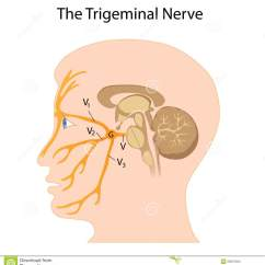 Trigeminal Nerve Diagram Activity With Swimlanes The Stock Vector Illustration Of Neurologist Anatomy Eps8