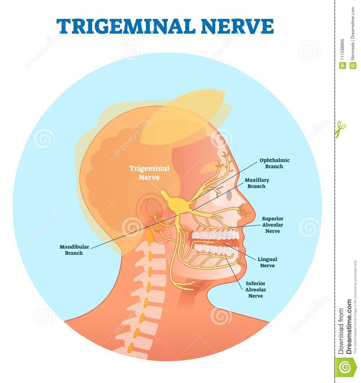 trigeminal nerve diagram island vent plumbing anatomical vector illustration with human head cross section