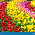 Tulip Flowers Garden In Spring Background Or Pattern Stock Image Image Of Garden Freshness 31906515