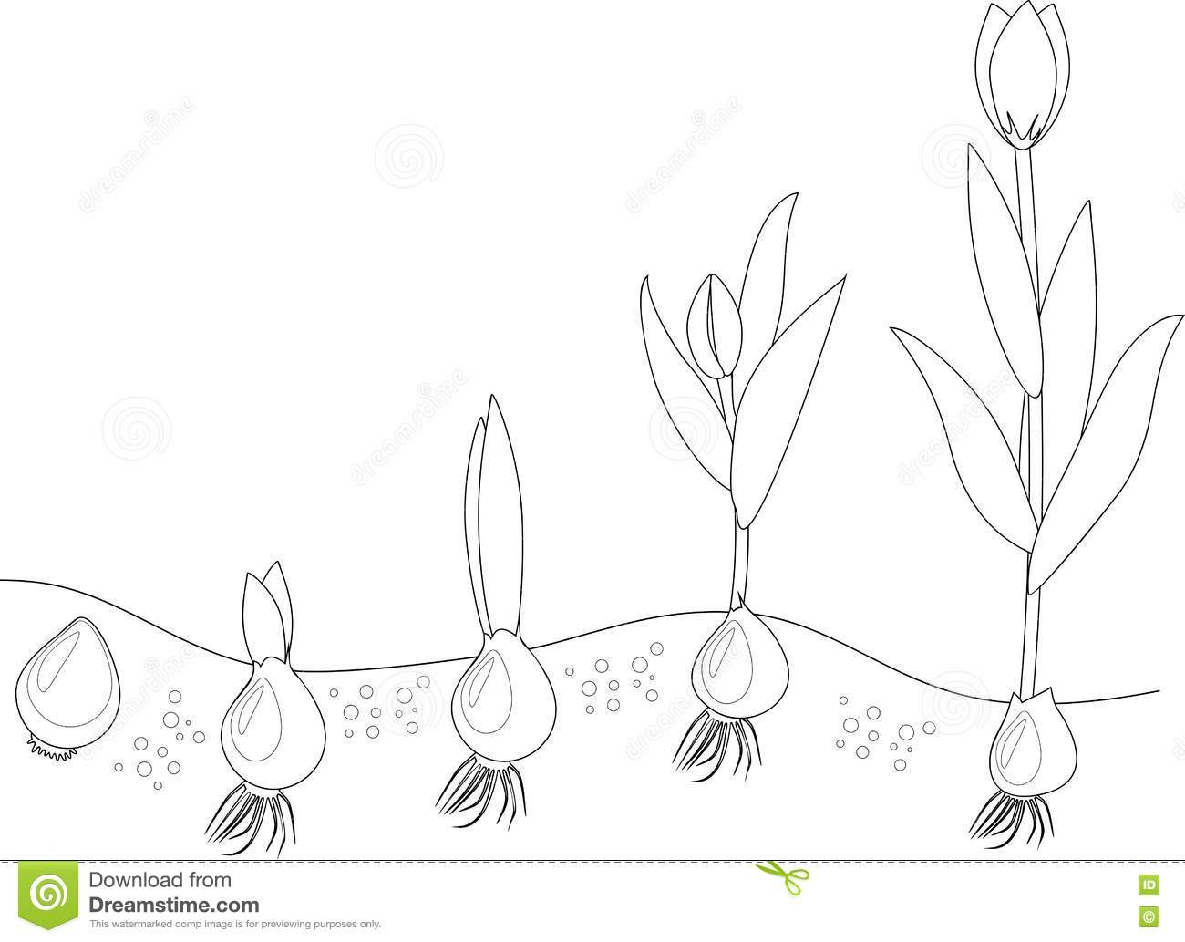 Tulip Growth Stage Coloring Stock Vector