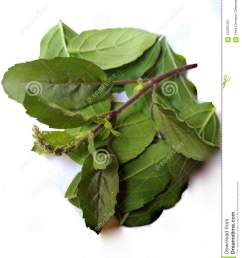 tulsi leaf or plant is the one of famous and effective ayurvedic plant it is the holy plant for hindus and it cures many health problems  [ 1070 x 1300 Pixel ]