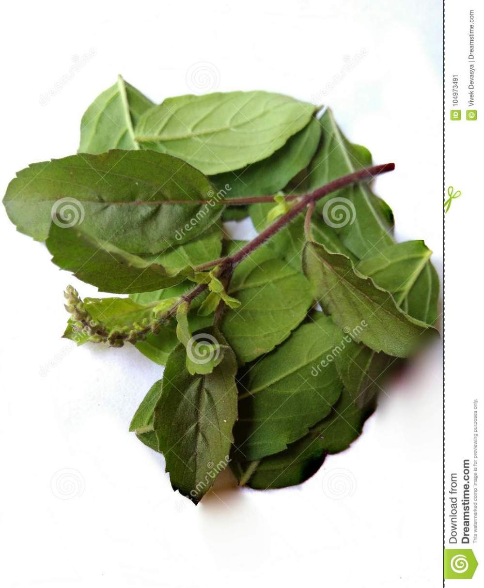 medium resolution of tulsi leaf or plant is the one of famous and effective ayurvedic plant it is the holy plant for hindus and it cures many health problems