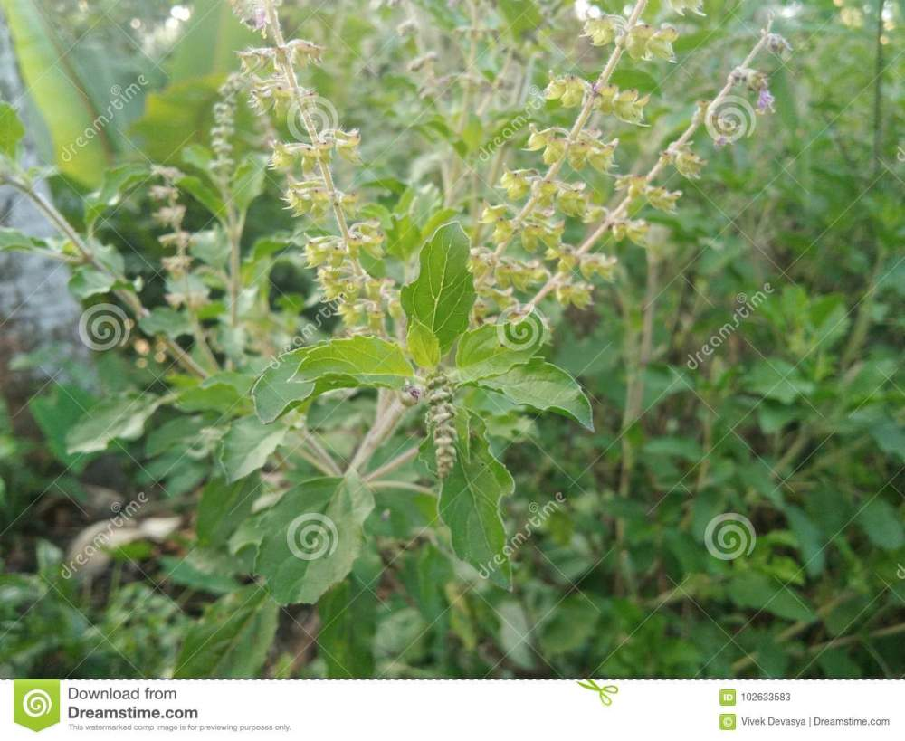 medium resolution of tulsi plant or holy basil with new leaves