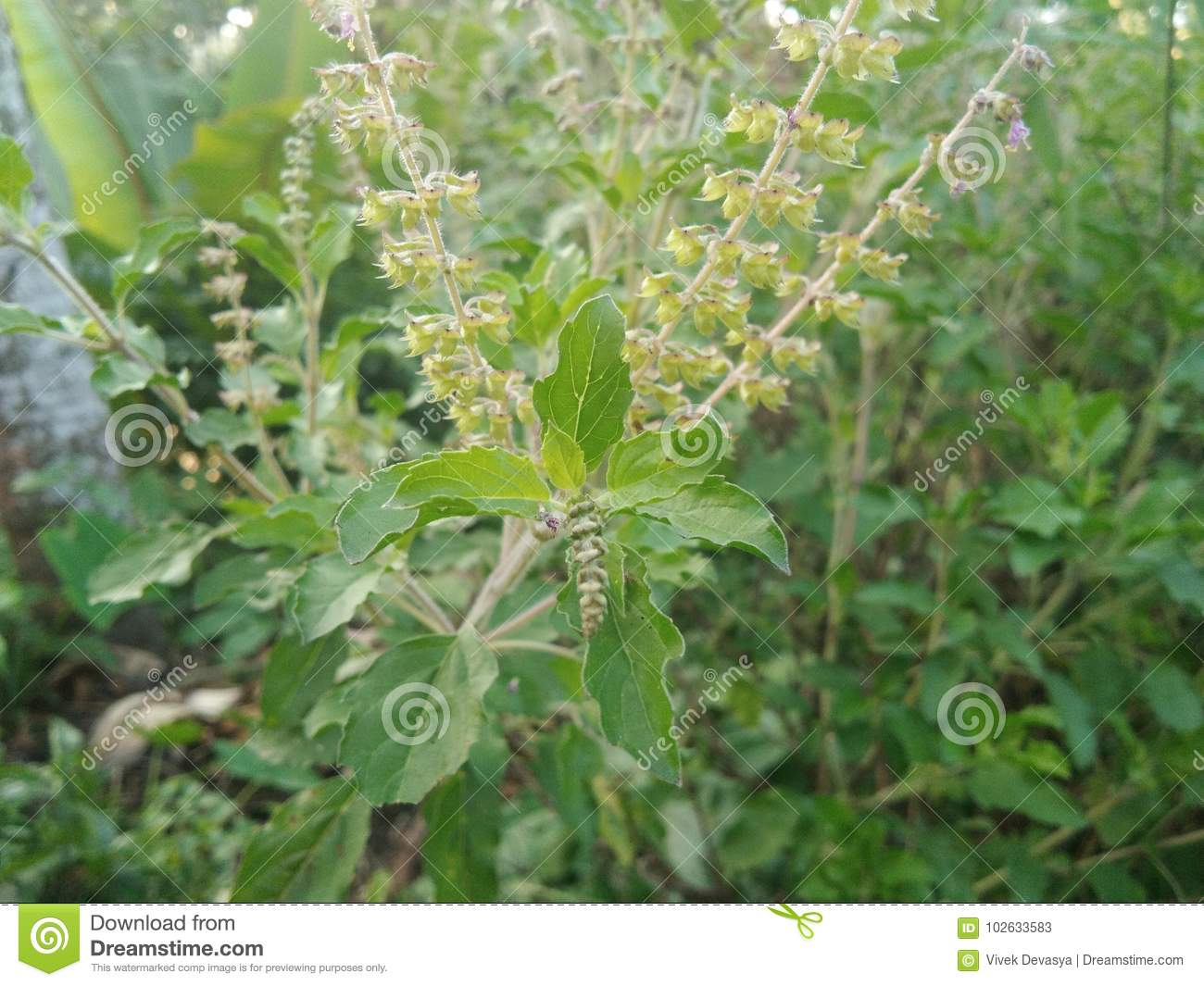 hight resolution of tulsi plant or holy basil with new leaves