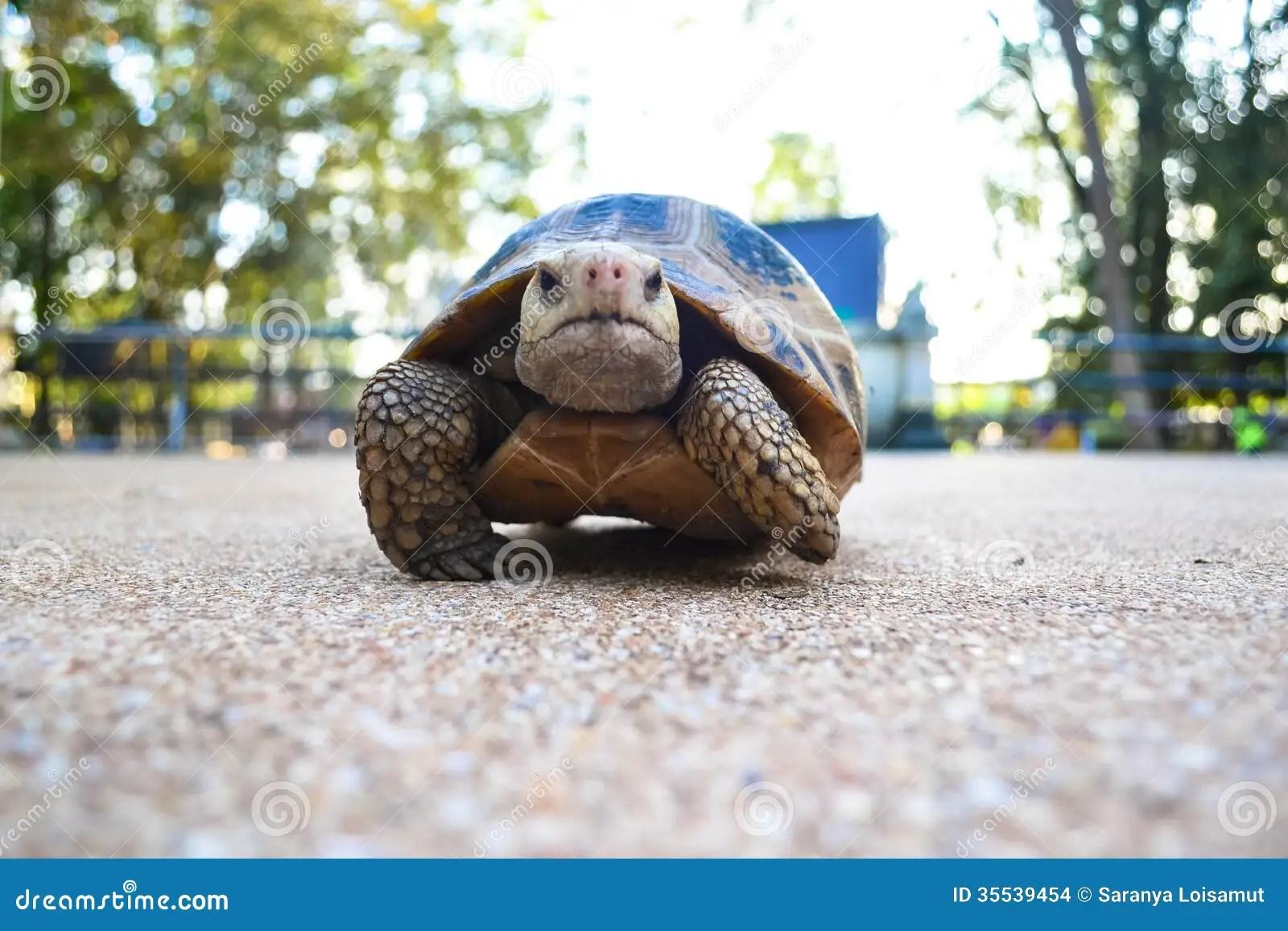Turtle On The Floor Stock Photo Image Of Leisurely