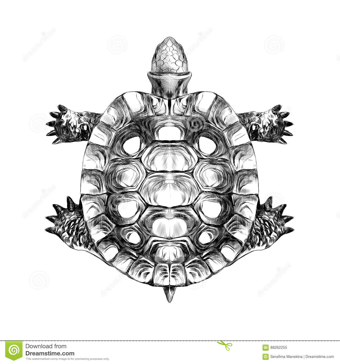 Turtle Top View Carapace Crawling Sketch Vector Stock
