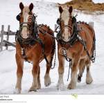 Two Clydesdale Horses And The Winter Snow Stock Image Image Of Beautiful Horses 116491223