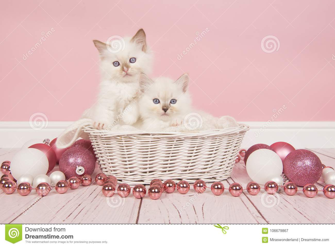 two baby ragdoll cats