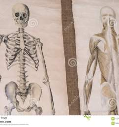 two drawing of human anatomy skeleton and torso musculature  [ 1300 x 957 Pixel ]