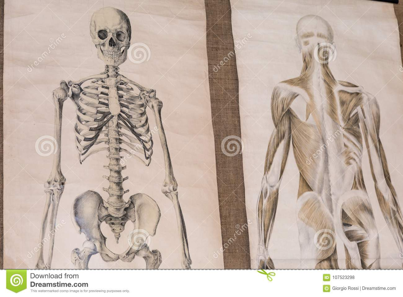 hight resolution of two drawing of human anatomy skeleton and torso musculature