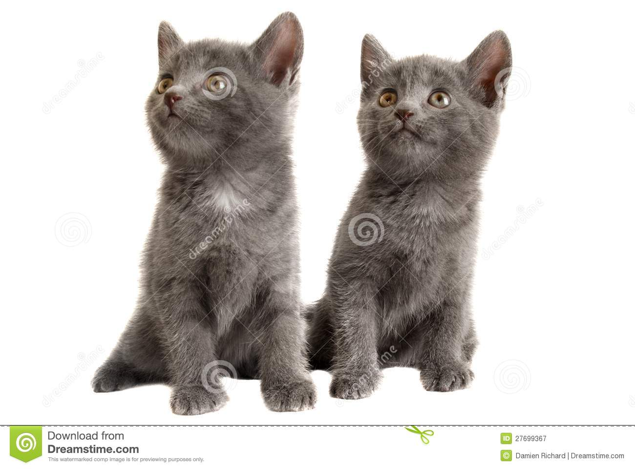 two grey kittens on