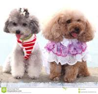 Two Poodles Show Their Modern Trendy Fashion Stock Photos ...