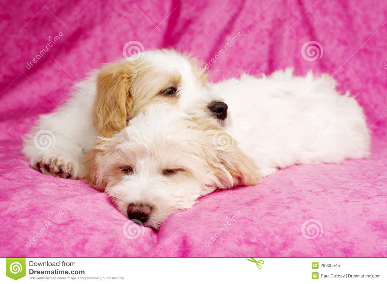 Cute Puppies Sleeping Wallpaper Two Puppies Laid Sleeping On A Pink Background Royalty