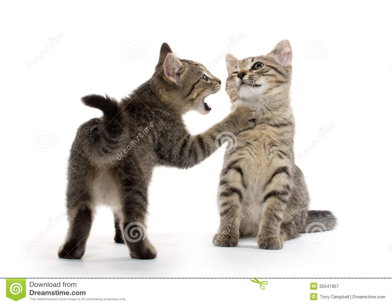Two Tabby Kittens Royalty Free Stock Photography Image