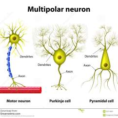 Multipolar Neuron Diagram Labeled 4 Wire Cdi Chinese Atv Wiring Types Of A Neurons Stock Illustration - Image: 52114641