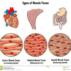 Cardiac Muscle Labeled Diagram Memory Hierarchy Types Of Tissue Cartoon Vector Cartoondealer