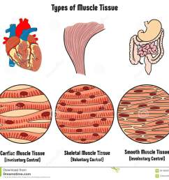 types of muscle tissue of human body diagram [ 1300 x 1223 Pixel ]