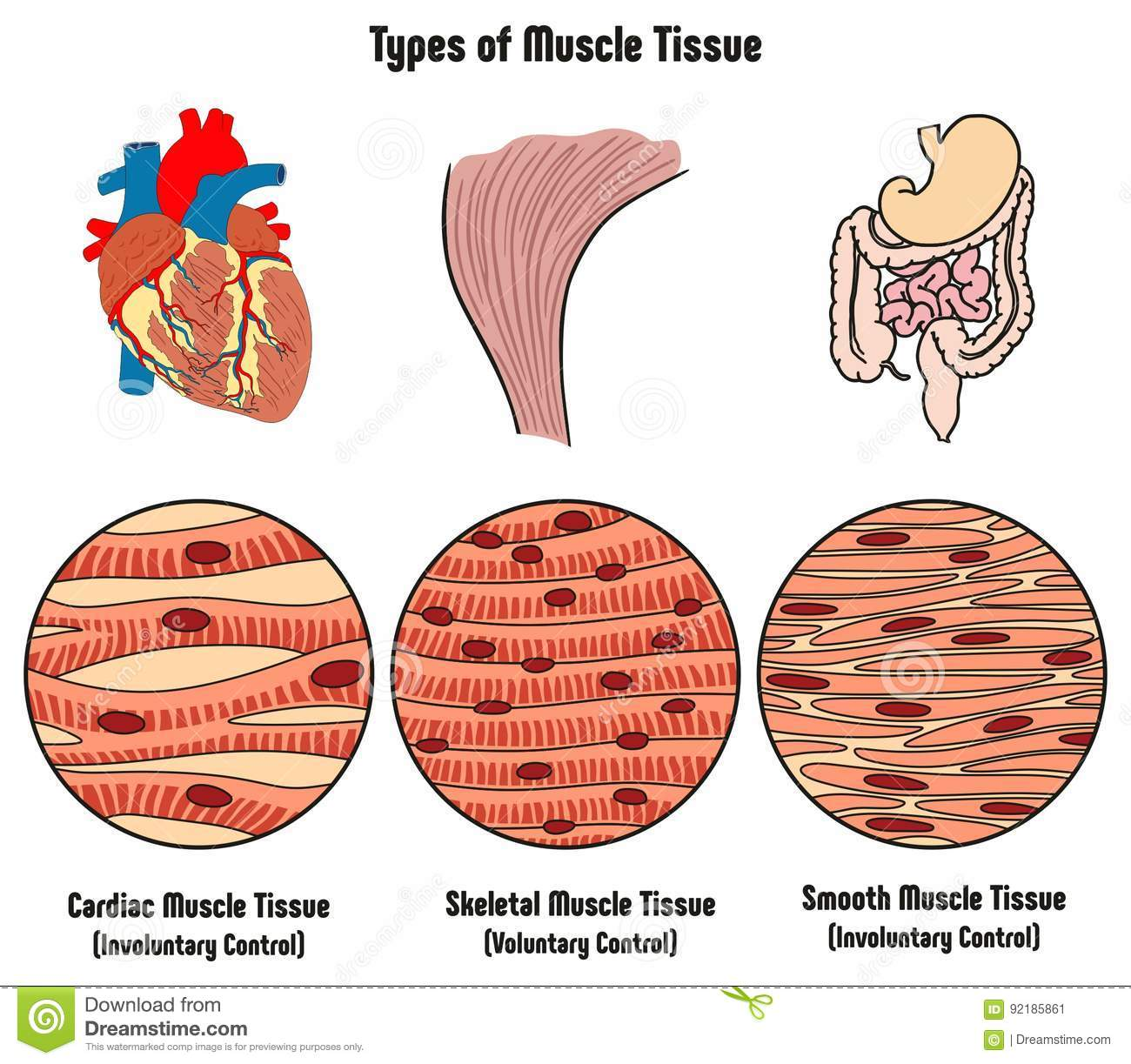 hight resolution of types of muscle tissue of human body diagram