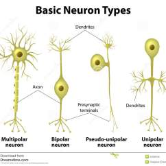 Multipolar Neuron Diagram Labeled 2001 Jayco Eagle Wiring Types Of Neurons Stock Vector Illustration Care
