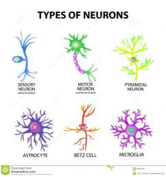 types of neurons cartoon vector cartoondealer com 52092345 neuron cell diagram blank neuron cell diagram blank [ 1300 x 1361 Pixel ]
