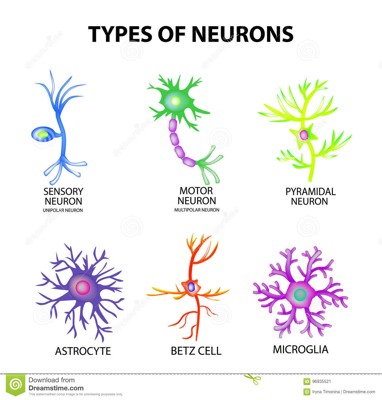 hight resolution of types of neurons cartoon vector cartoondealer com 52092345 neuron cell diagram blank neuron cell diagram blank