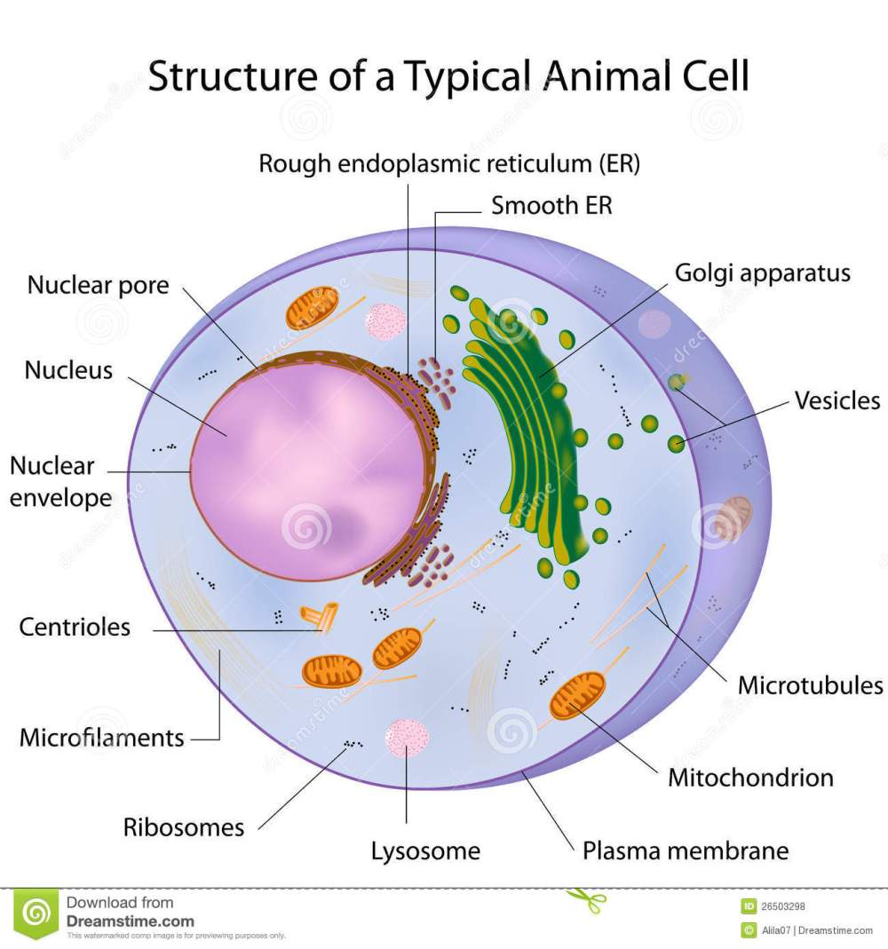 medium resolution of major components of an animal cell eps10