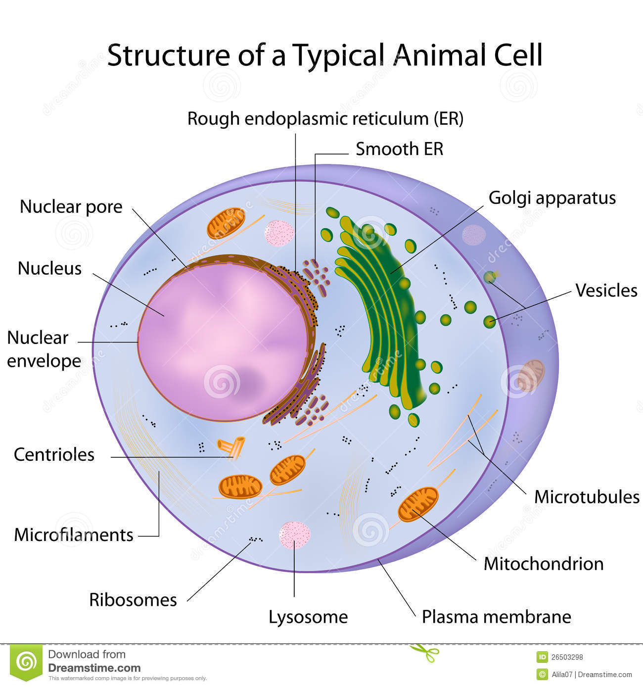 hight resolution of major components of an animal cell eps10
