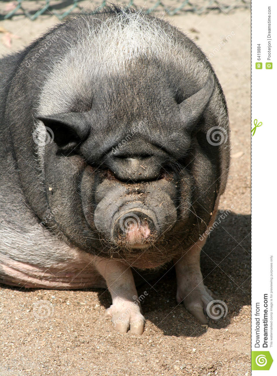 Ugly Pig Stock Images  Image 6419884