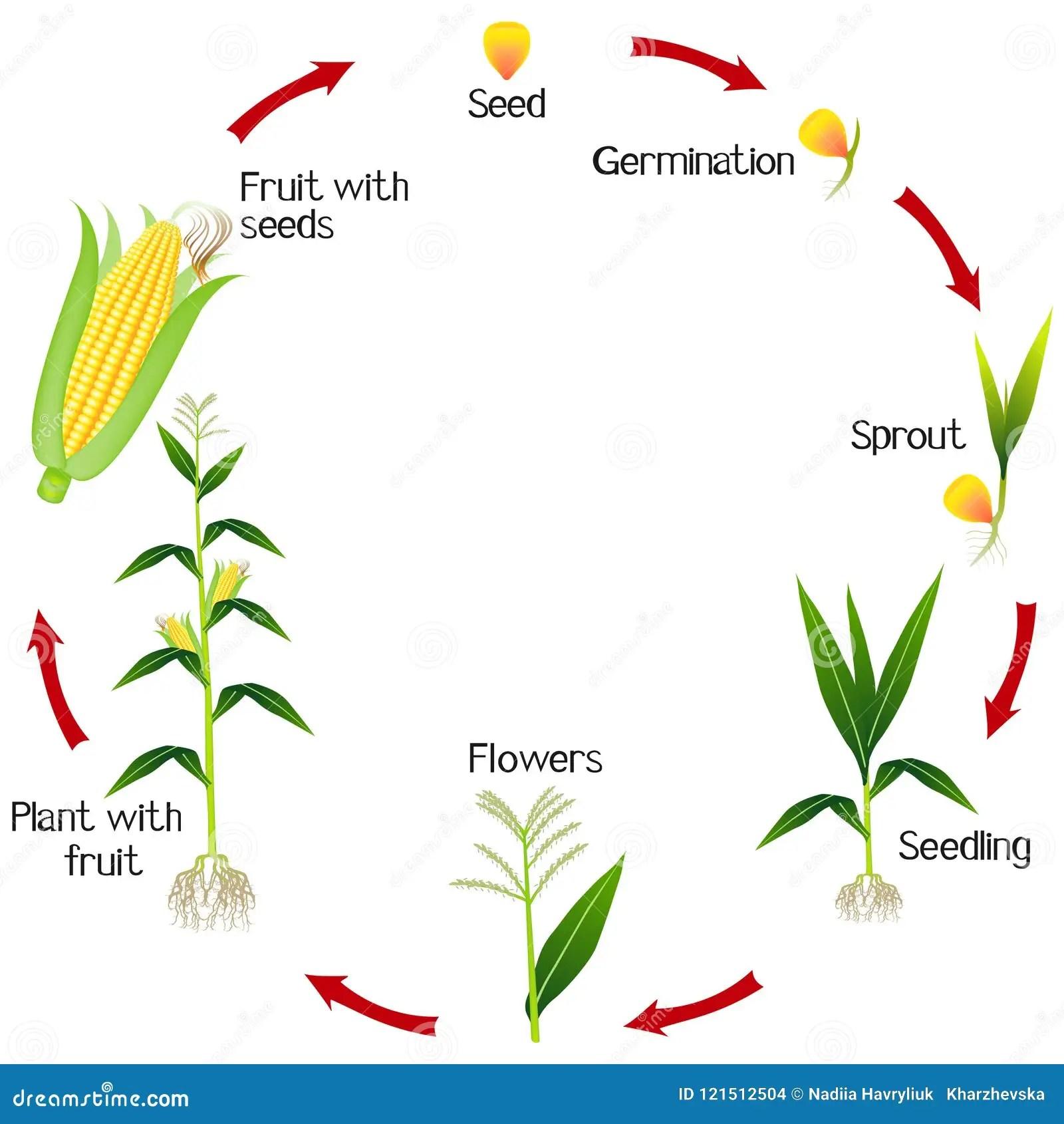Um Ciclo De Crescimento De Uma Planta De Milho Em Um Fundo