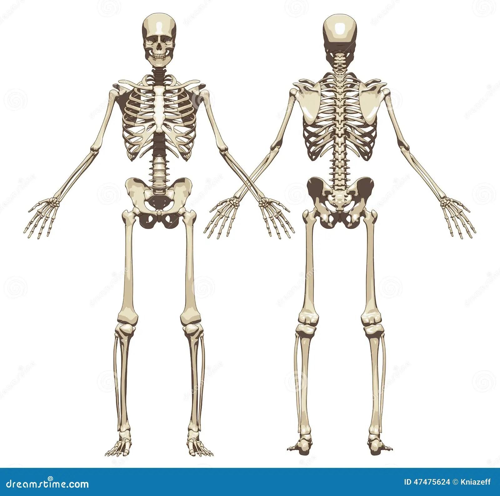 Um Esqueleto Humano Vista Dianteira E Traseira Ilustracao