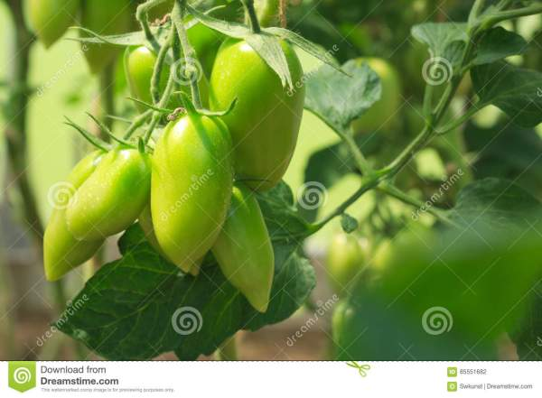 Unripe Tomatoes Fruit Green Stems Stock