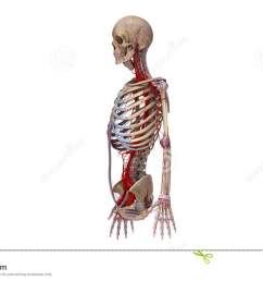 upper body with ligaments and arteries stock footage video of circulatory coracoid 88214522 [ 1300 x 821 Pixel ]