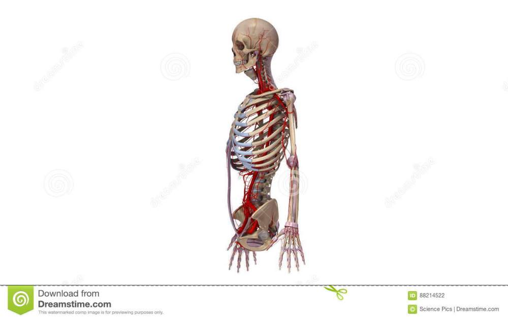 medium resolution of upper body with ligaments and arteries stock footage video of circulatory coracoid 88214522