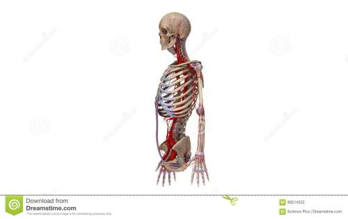 small resolution of upper body with ligaments and arteries stock footage video of circulatory coracoid 88214522