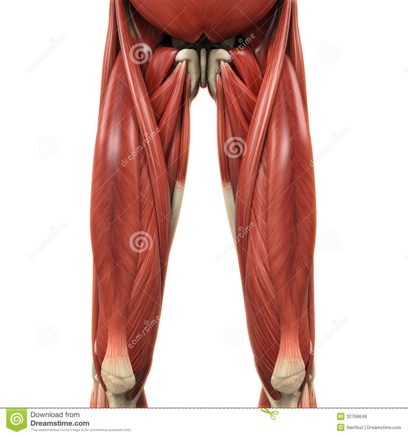 upper leg muscles diagram 2001 chevy silverado 1500 tail light wiring of rectus muscle latissimus dorsi