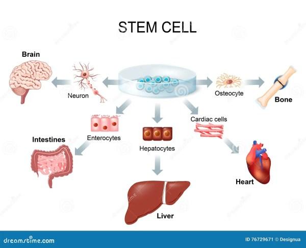 Stem Cells Treat Diseases