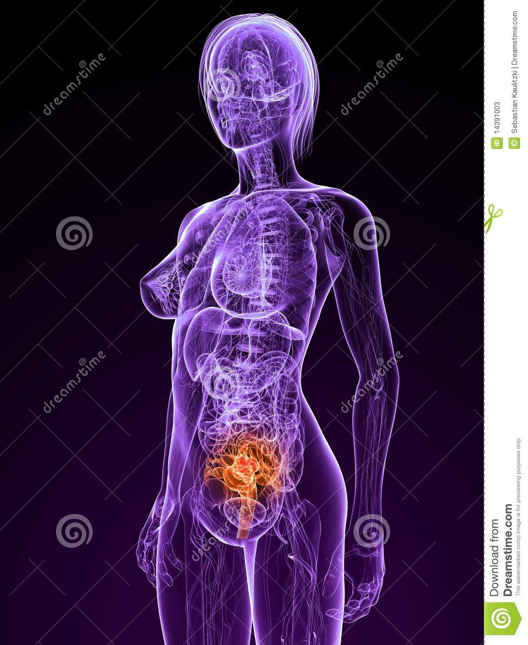 liver and spleen diagram stereo wire uterus cancer stock illustration. image of science, illustration - 14391003