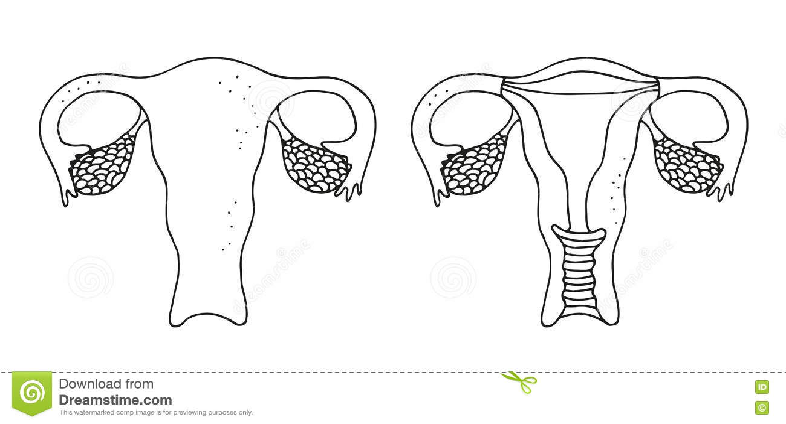 Uterus illustration stock vector. Image of human, drawn
