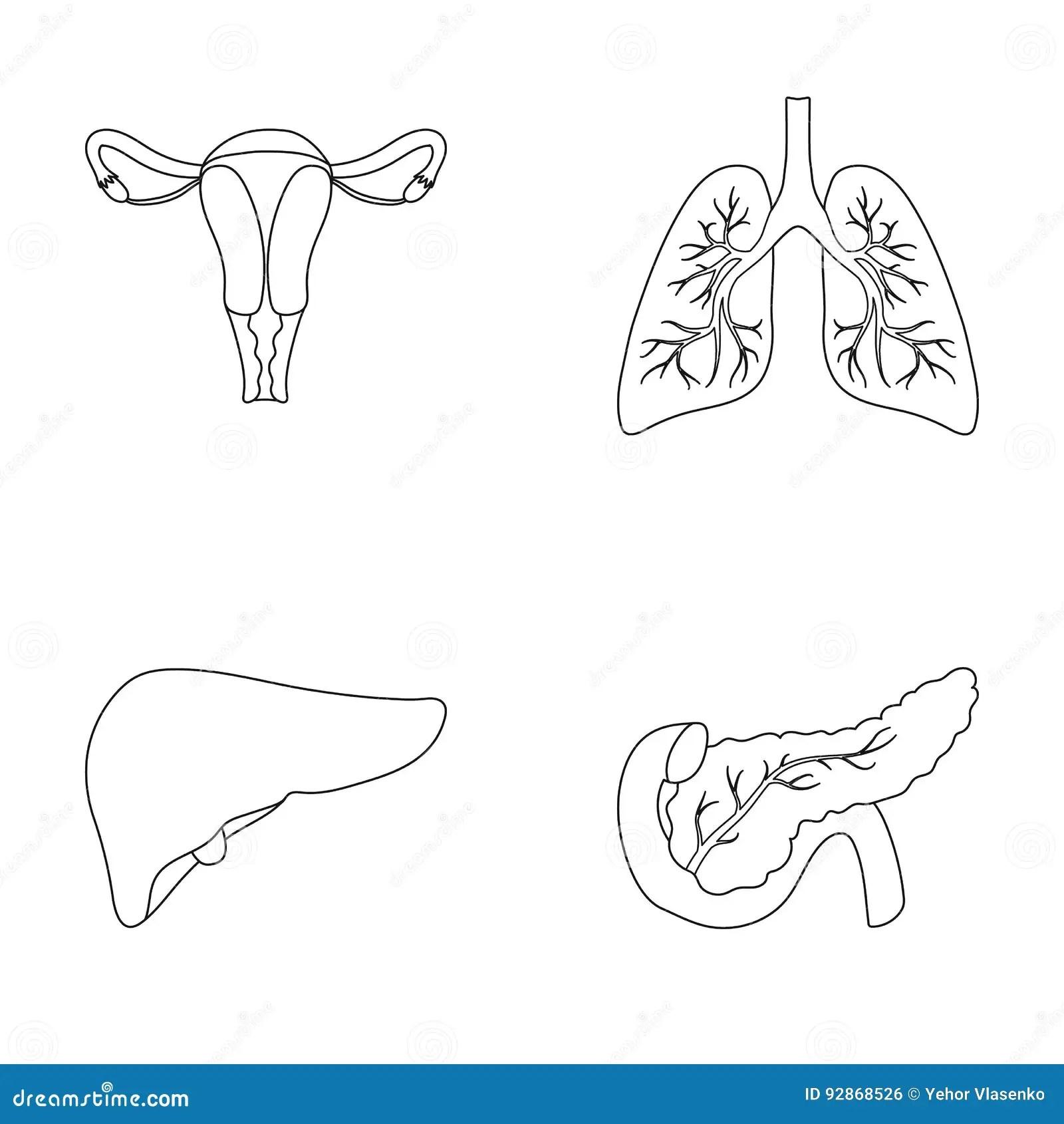 Liver, Pancreas, Gallbladder, Duodenum And Bile Pa Cartoon
