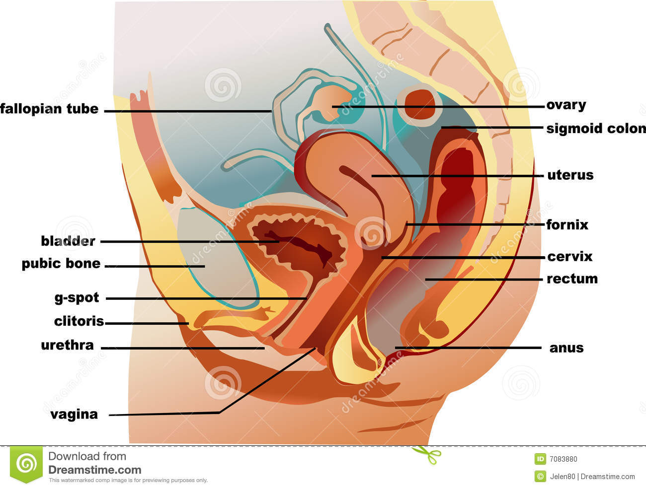 hight resolution of illustration of woman s reproductive system