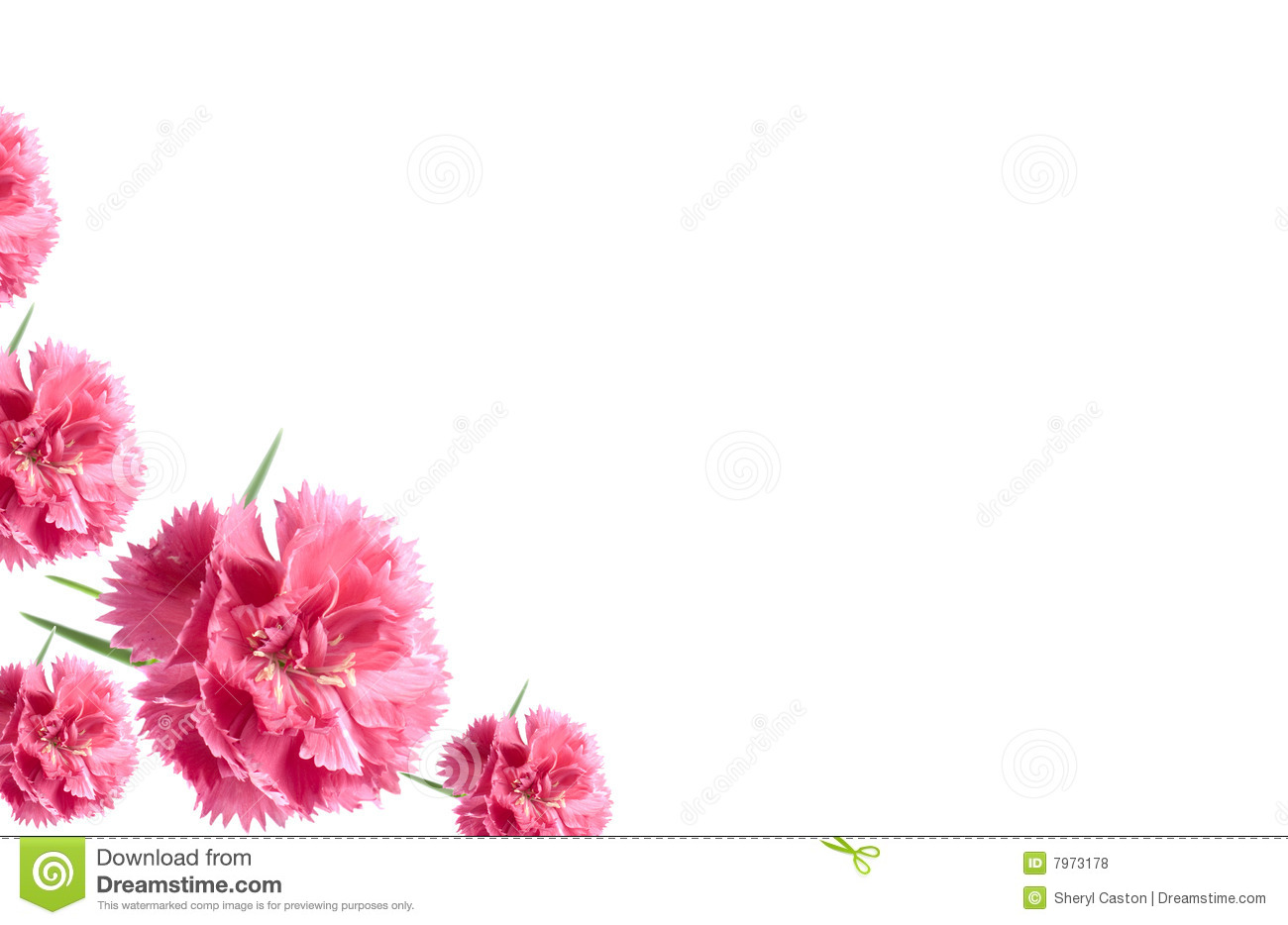 Valentine Flowers Card Background Pink Carnations Royalty