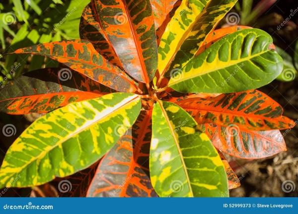Variegated Leaf Croton Plant