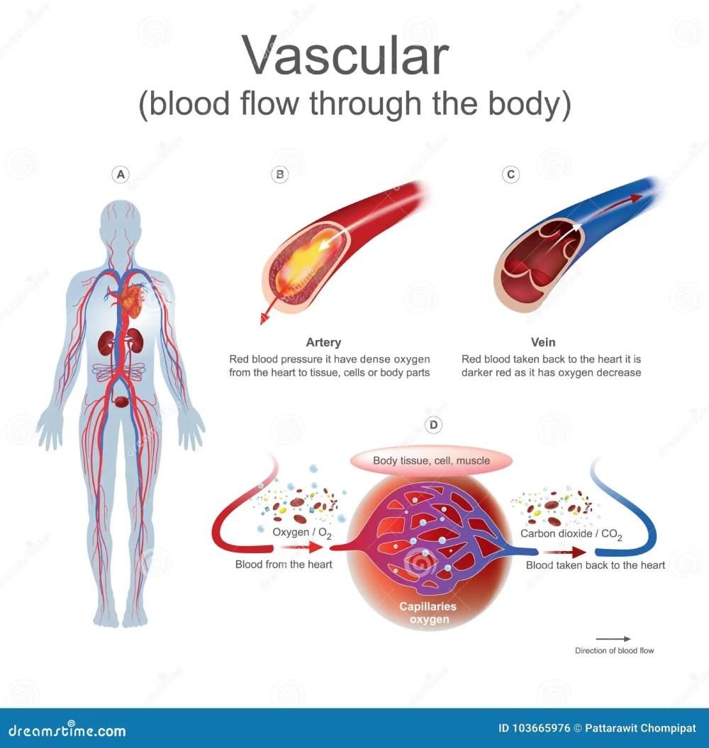 medium resolution of vascular blood flow through the body