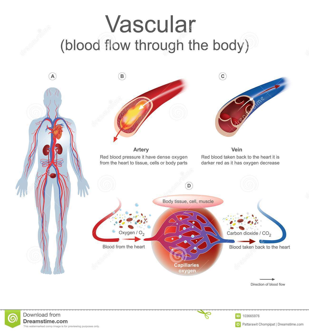 hight resolution of vascular blood flow through the body