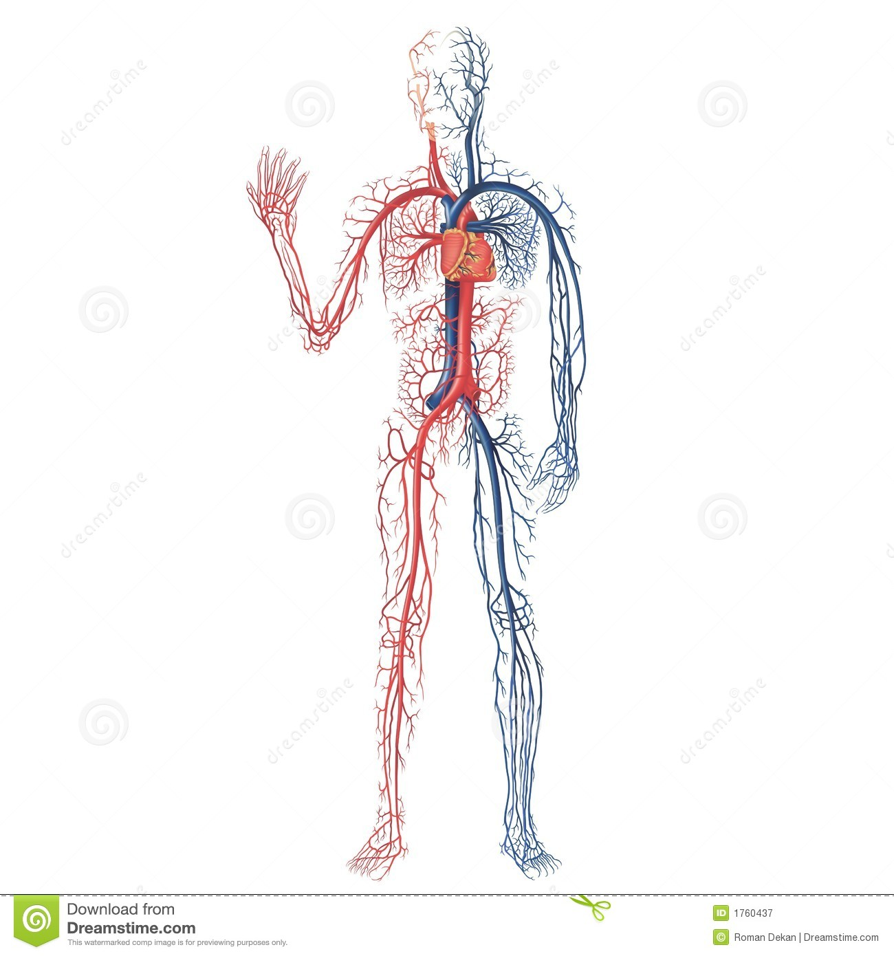 Vascular System Royalty Free Stock Photography