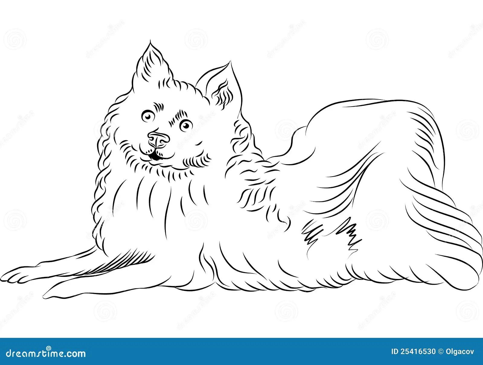 Vector American Eskimo Dog Breed Lying Stock Photo