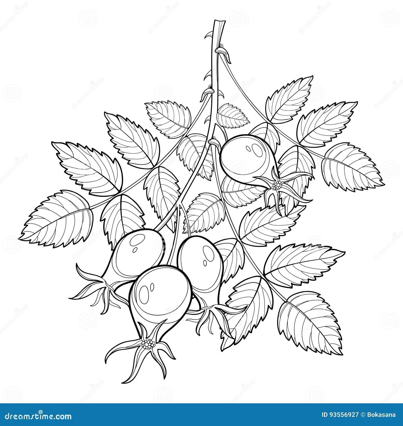 A Branch Of Wild Rose Hips Vector Illustration Cartoon